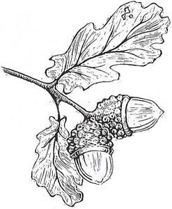 Oak Leaf And Acorn Drawing Tombleson Associates |...